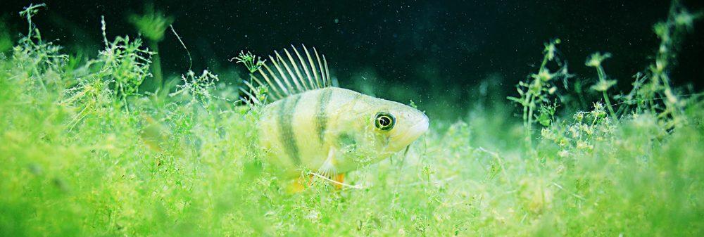algae perch aquarium 1 e1578773054446