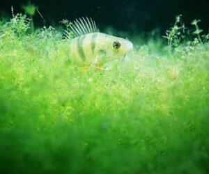 algae perch aquarium