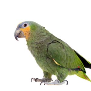 Orange Winged Amazon Parrot - Care Guide