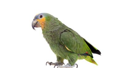 orange winged amazon parrot