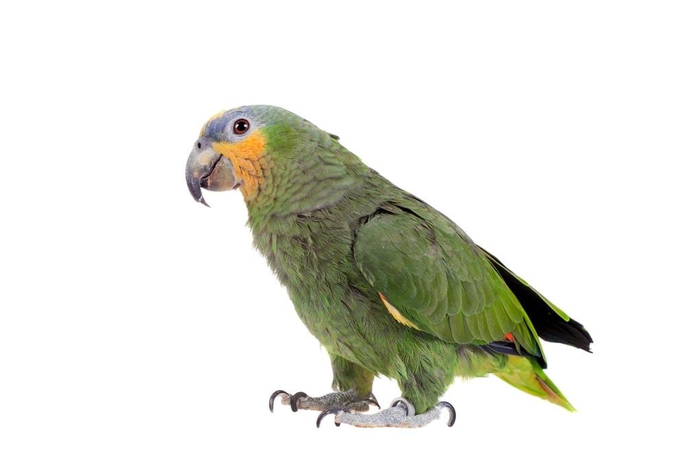 amazon parrot cute 1