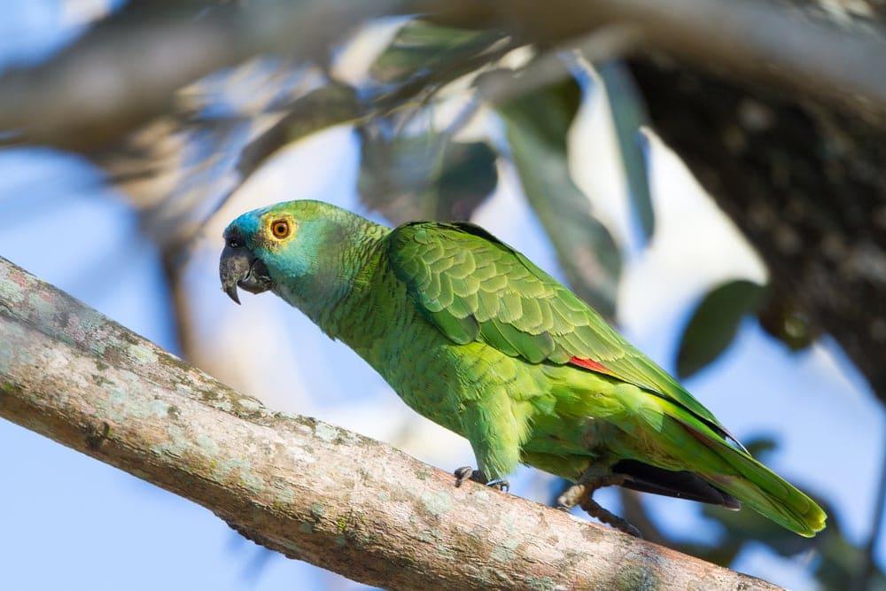 amazon parrot in wild