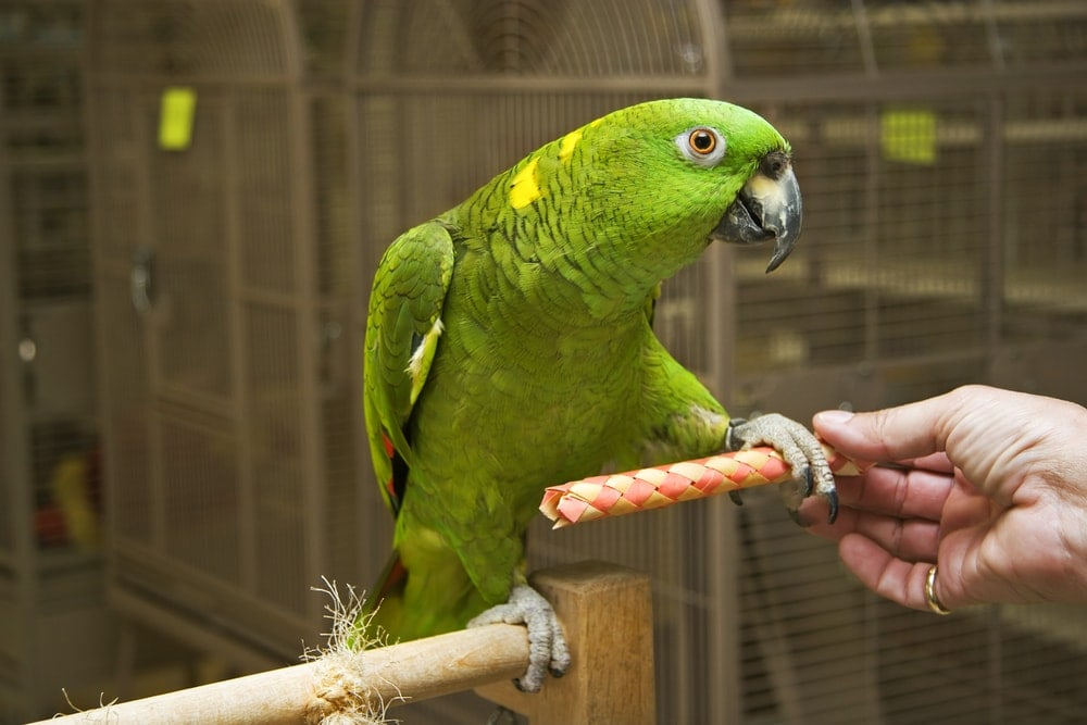 amazon parrot on stick