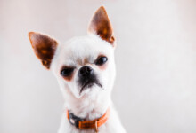 Why is my Chihuahua Aggressive?