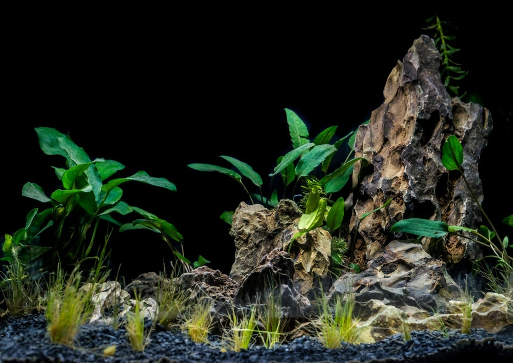 aquarium hairgrass