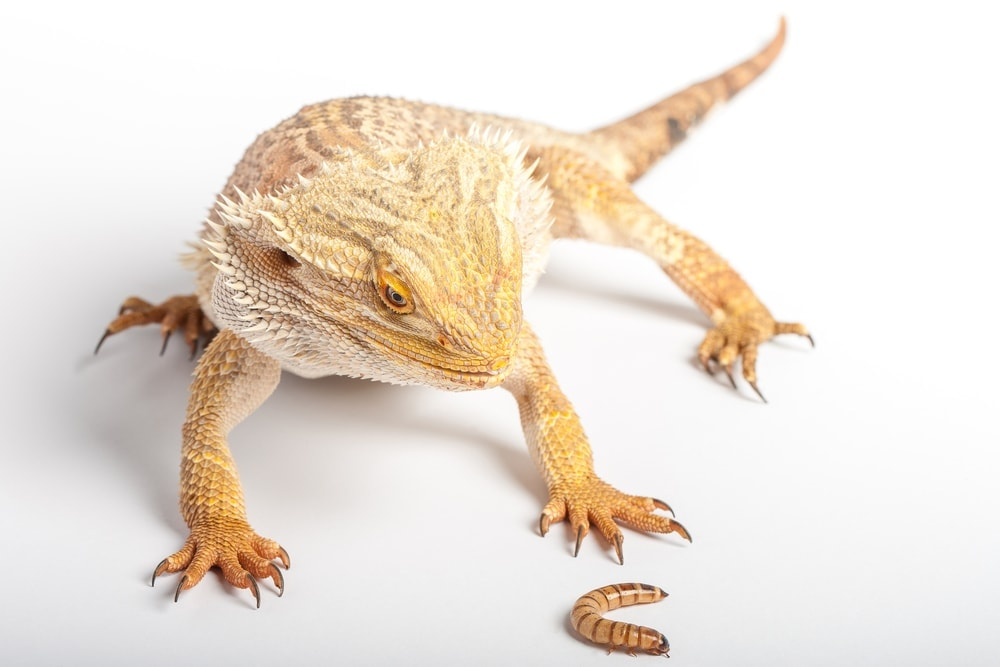 bearded dragon cricket