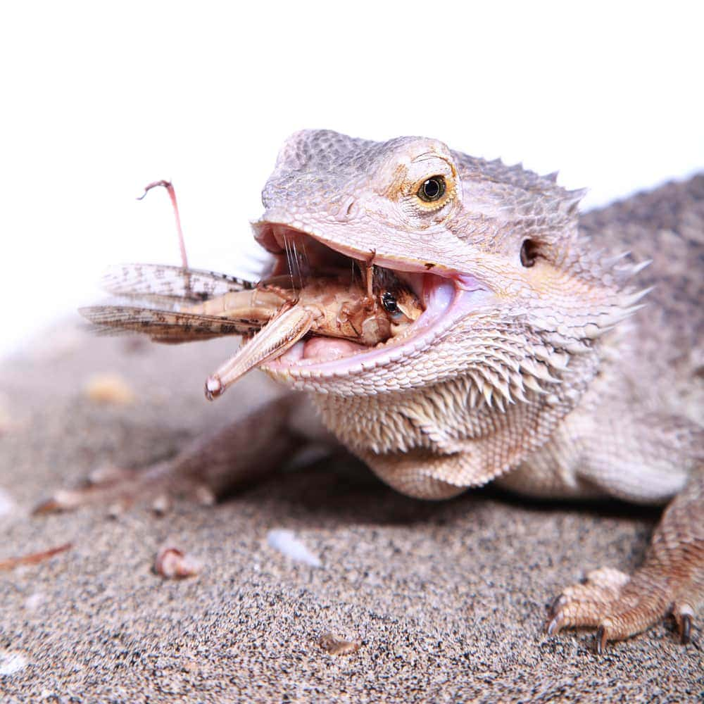 bearded dragon eat insect