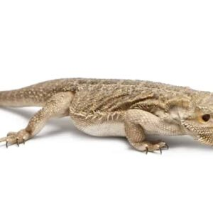 Bearded Dragon Nutrition/Food Guide