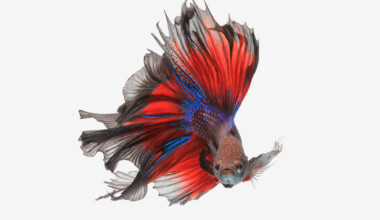 betta fish 2 2
