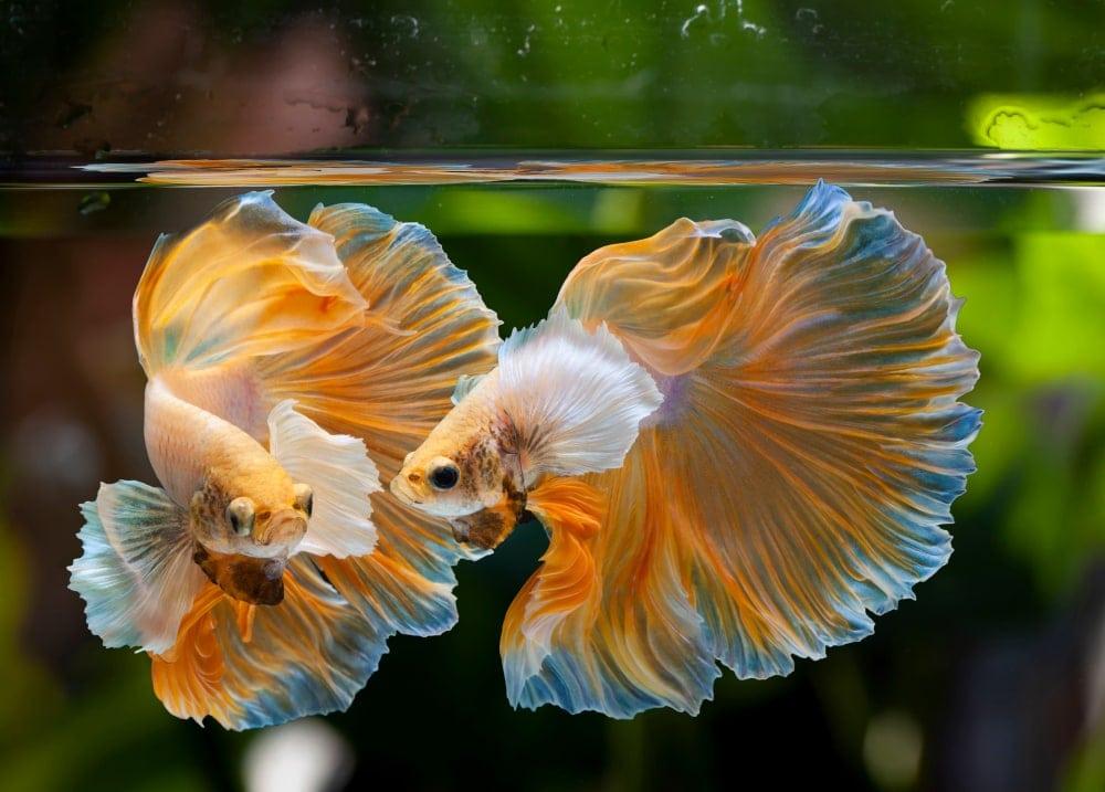 betta fish 3