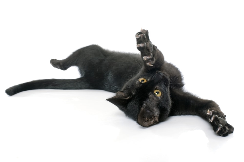 black cat back