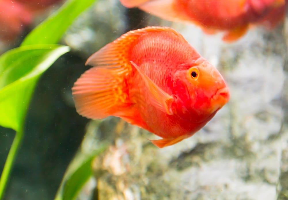 blood parrot cichlid 2