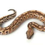 Blood & Short Tailed Python Care Guide