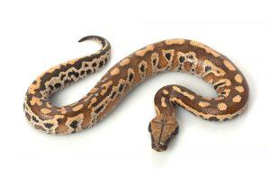 blood python white bg