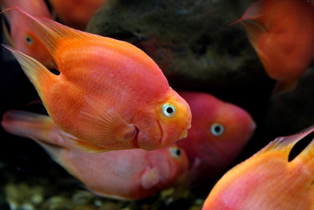 blood red parrot cichlid