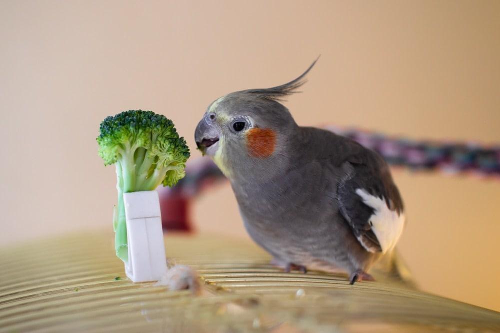 broccoli pet bird