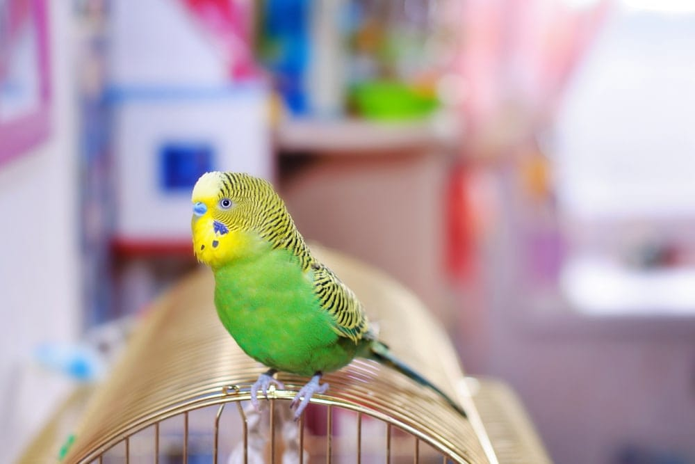 budgie at cage