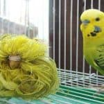 Feather Duster Budgerigar Information