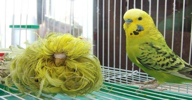 budgie vs feather duster budgie e1580061504121