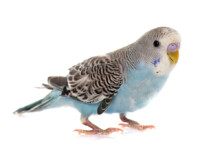 How to Figure Out the Sex of my Parakeet?