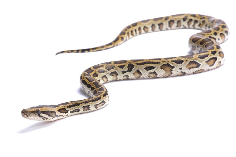 burmese python white bg