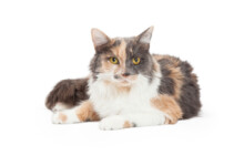 10 Fun Facts About Calico Cats