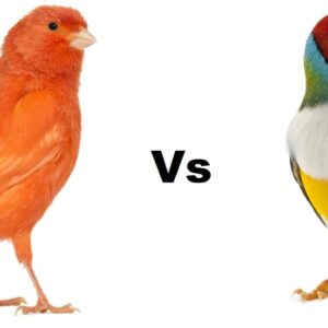 Finch vs Canary Bird - Differences