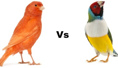 canary vs finch