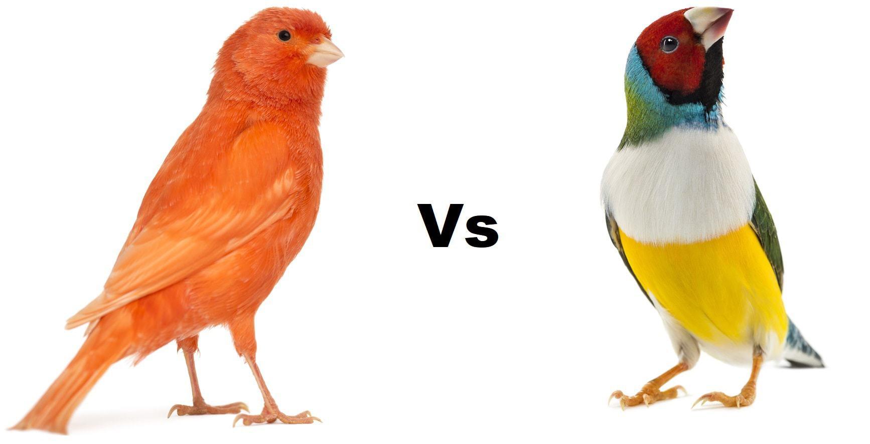 canary vs finch