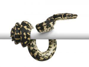 carpet python close up