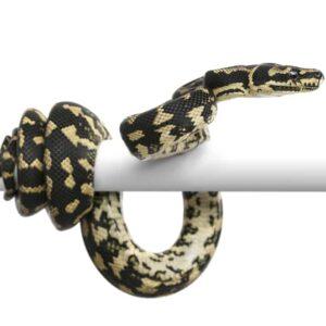 Carpet Python Care Guide & Info