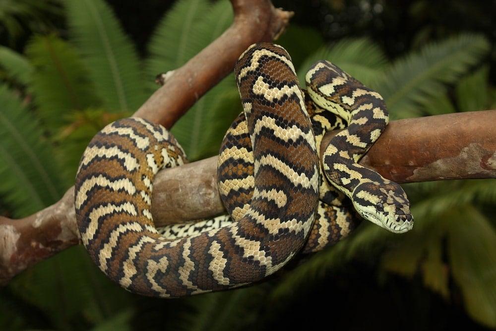 carpet python jungle