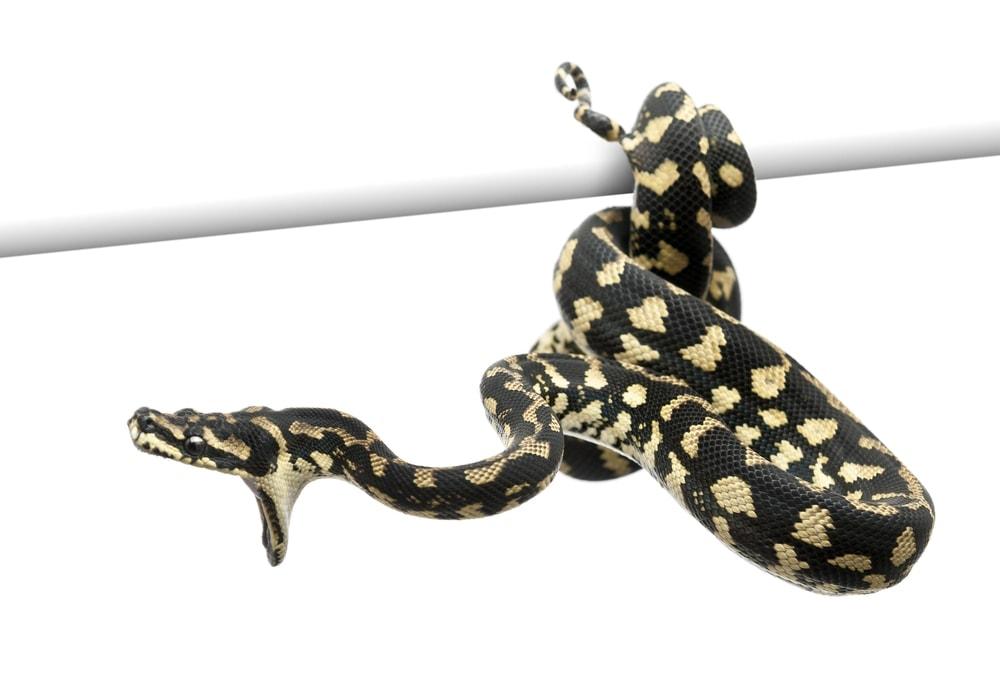 carpet python white bg
