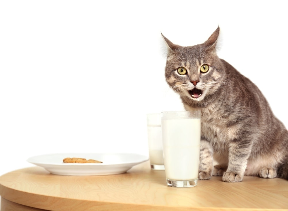 cat suprised milk