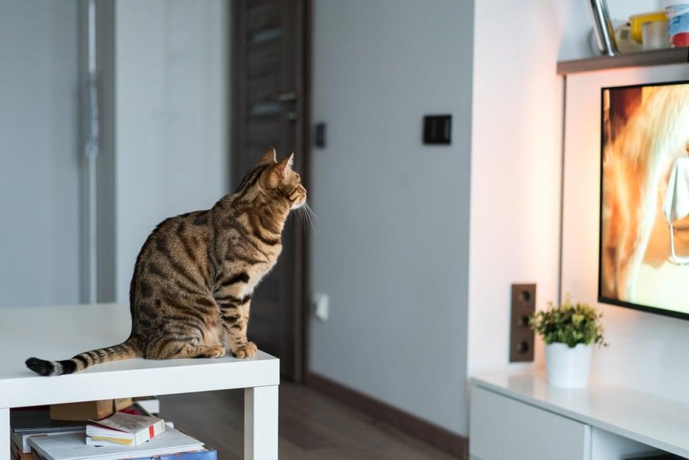 cat watch tv