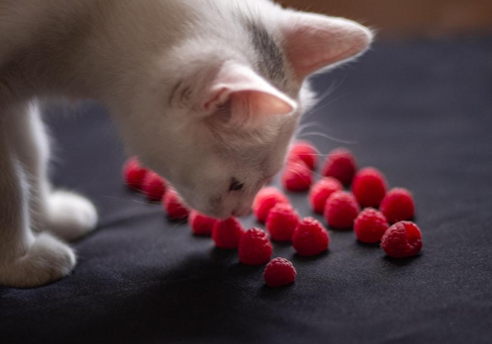 cat with raspberries