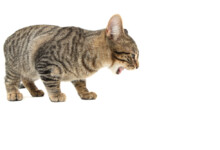What to do about Hairballs in Cats?