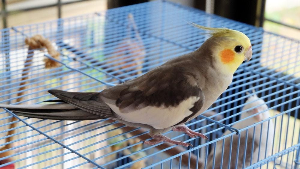 cockatiel 2