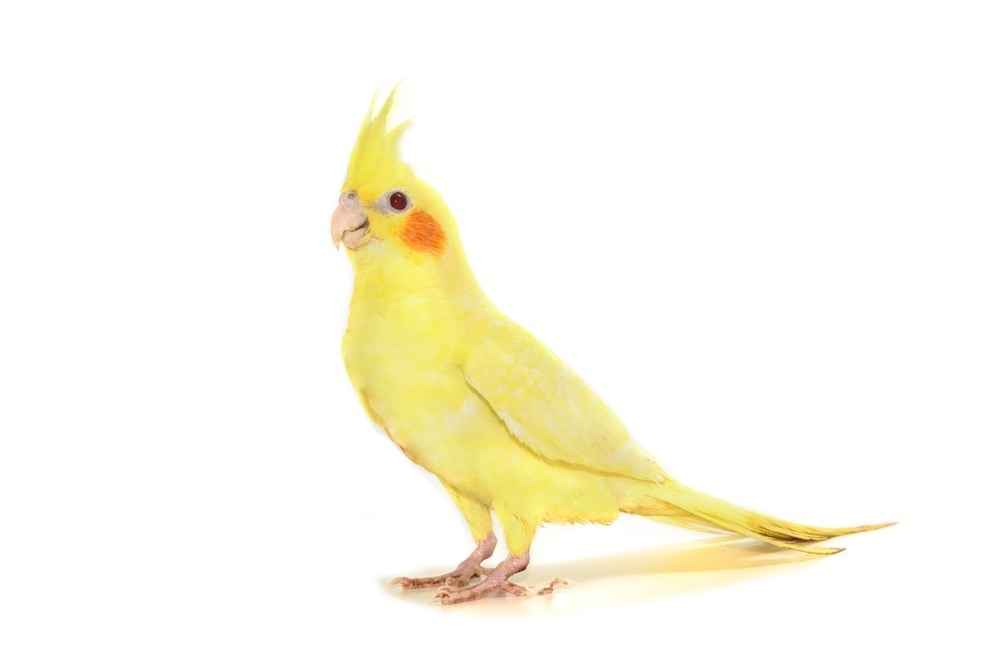 yellow cockatiel white background