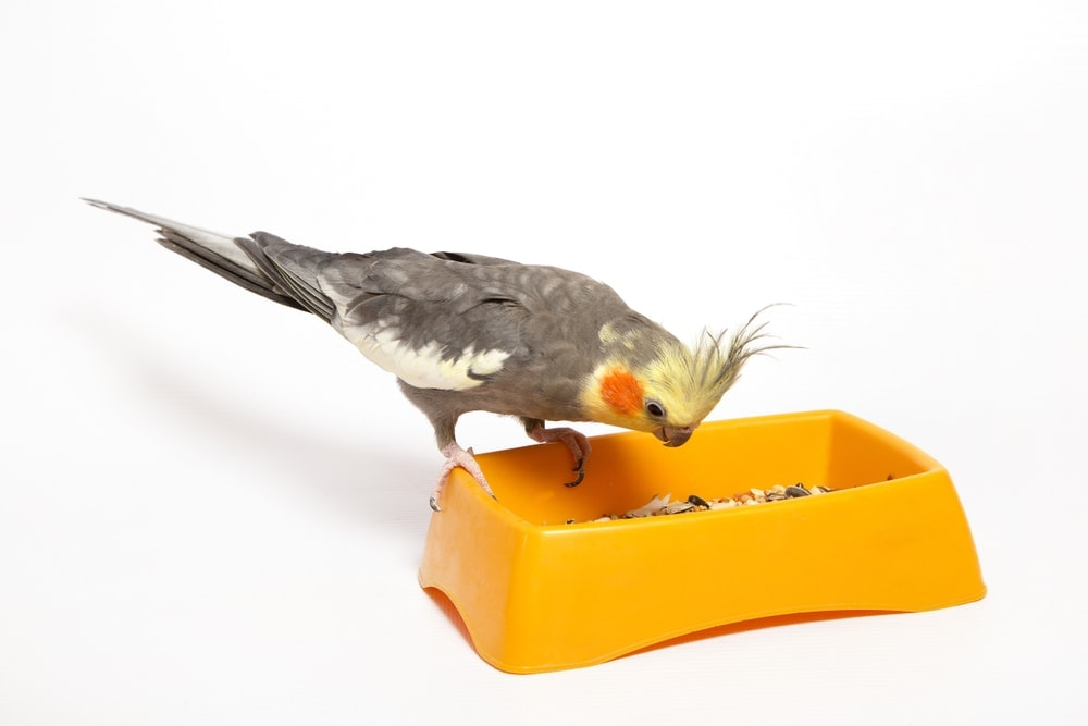 cockatiel eating