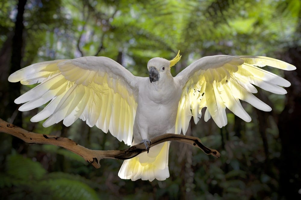 cockatoo wings spread