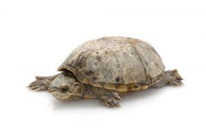 common musk turtle white bg