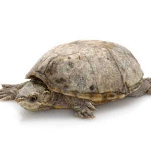 Common Musk Turtle - Care Guide