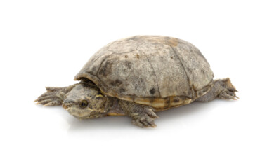 common musk turtle white bg