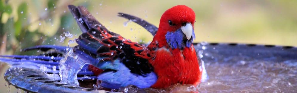 crimson rosella bathing e1579440381415