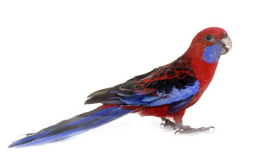rosella on white background