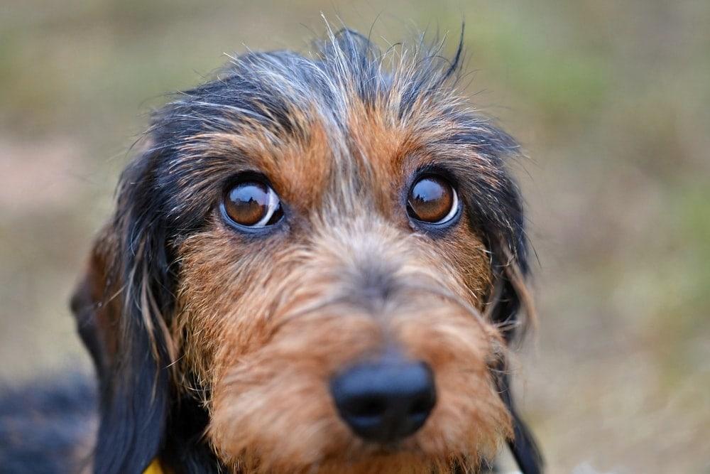 dachshund eyes
