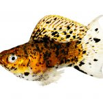 Molly Fish Care Guide - Types, Breeding & More