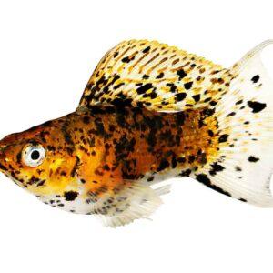 Molly Fish Care Guide & Info