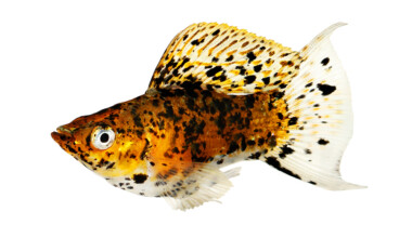 dalmatian balloon molly fish